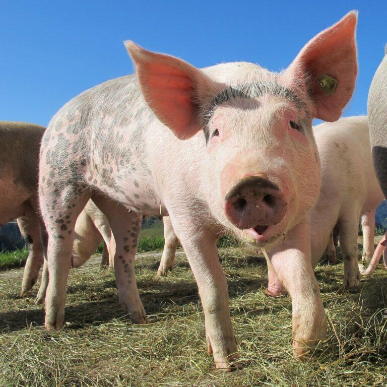 Zdjęcie przedstawia świnię